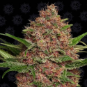 Purple Punch Auto 1 semilla Barney´s Farm Seeds