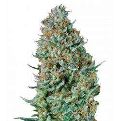 Bubble Fruit 3 semillas Gea Seeds Gea Seeds GEA SEEDS