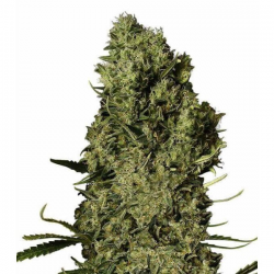 Chronical 3 semillas Gea Seeds Gea Seeds GEA SEEDS