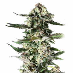 Critical Purple 3 semillas Gea Seeds Gea Seeds GEA SEEDS