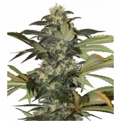 Early Skunk 3 semillas Gea Seeds Gea Seeds GEA SEEDS