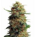 Jack Orange 3 semillas Gea Seeds