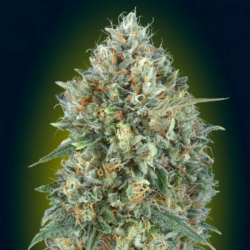 Auto Gelato 33 1 semilla Advanced Seeds ADVANCED SEEDS ADVANCED SEEDS