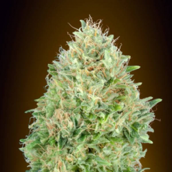 Pineapple Glue 1 semilla Advanced Seeds ADVANCED SEEDS ADVANCED SEEDS