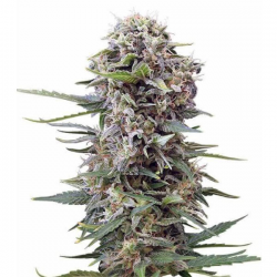 Auto Cheese 3 semillas Gea Seeds  GEA SEEDS