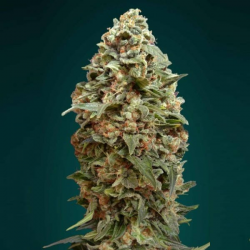 Afghan Skunk 1 semilla Advanced Seeds ADVANCED SEEDS ADVANCED SEEDS