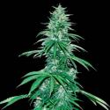 Sour Ryder Auto ASB 1 semilla Xtreme Seeds