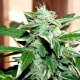 Northern Light Auto 1 semilla Xtreme Seeds XTREME SEEDS XTREME SEEDS
