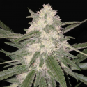 The Critical Auto 1 semilla Xtreme Seeds