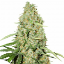 Think Different 3 semillas Dutch Passion Seeds