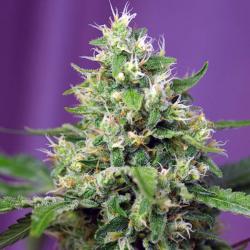 Sweet Amnesia Haze XL Auto 3 semillas Sweet Seeds SWEET SEEDS  SWEET SEEDS