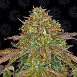 Weeding Cake 1 semilla Barney´s Farm Seeds BARNEY´S FARM SEEDS  BARNEY´S FARM