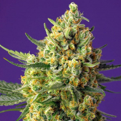 Crystal Candy Xl Auto 3 semillas Sweet Seeds SWEET SEEDS  SWEET SEEDS
