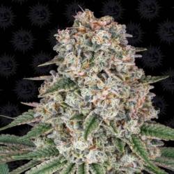 Tropicanna Banana 1 semilla Barney´s Farm Seeds BARNEY´S FARM SEEDS  BARNEY´S FARM