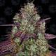 Mimosa Evo 1 semilla Barney´s Farm Seeds BARNEY´S FARM SEEDS  BARNEY´S FARM