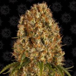 Orange Sherbert 1 semilla Barney´s Farm Seeds BARNEY´S FARM SEEDS  BARNEY´S FARM