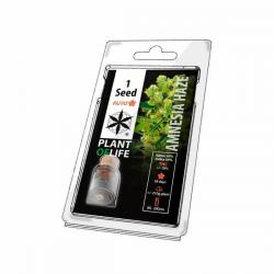 Amnesia Haze Auto 1 semilla Plant Of Life Seeds  PLANT OF LIFE SEEDS