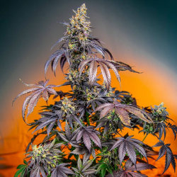 Red Gorilla Girl XL Auto 3 semillas Sweet seeds SWEET SEEDS  SWEET SEEDS