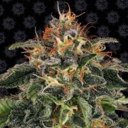 Moby Dick 1 semilla Barney´s Farm Seeds BARNEY´S FARM SEEDS  BARNEY´S FARM