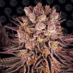 Mimosa x Orange Punch Barney´s Farm Seeds BARNEY´S FARM SEEDS  BARNEY´S FARM