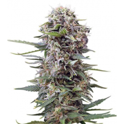 Cheese auto granel de 1€ a 0.40€ GOLD HARVEST SEEDS GOLD HARVEST SEEDS