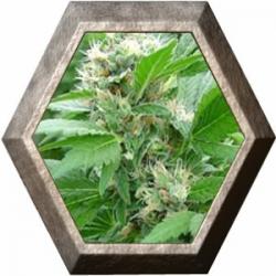 Magic Bud 3 semillas Paradise Seeds PARADISE SEEDS PARADISE SEEDS