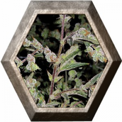 Dr. Grinspoon 1 semilla Barney's Farm Seeds BARNEY´S FARM SEEDS  BARNEY´S FARM