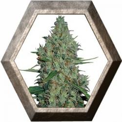 G 13 HAZE 1 semilla Barney's Farm Seeds BARNEY´S FARM SEEDS  BARNEY´S FARM
