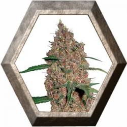 Laughing Buddha 1 semilla Barney's Farm Seeds BARNEY´S FARM SEEDS  BARNEY´S FARM