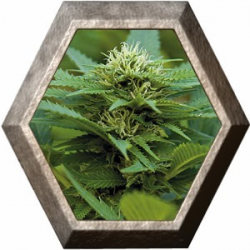 LSD 1 semilla Barney's Farm Seeds BARNEY´S FARM SEEDS  BARNEY´S FARM