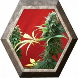 Jack Diesel 1 semilla Positronics Seeds