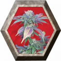 Purple Haze-1 1 semilla Positronics Seeds