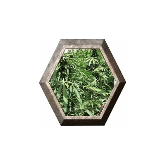 Afghan Express 1 semilla Positronic Seeds POSITRONIC SEEDS POSITRONICS SEEDS