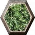 Afghan Express 1 semilla Positronic Seeds
