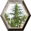 Mayday Express1 semilla Positronics Seeds