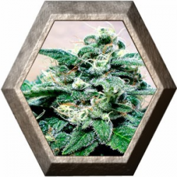 Super Cheese 1 semilla Positronics Seeds