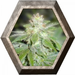 Devil Fruit 3 semillas Medical Seeds