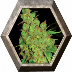 1024 3 semillas Medical Seeds
