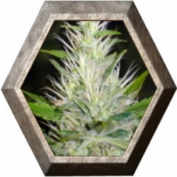 Malakoff 3 semillas Medical Seeds