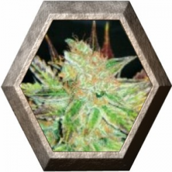 Prozac 3 semillas Medical Seeds