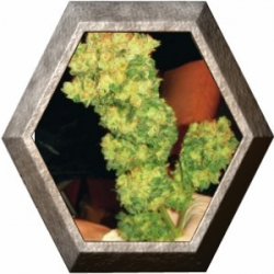 Sour Diesel 3 semillas Medical Seeds