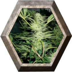 White Widow 3 semillas Medical Seeds