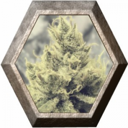Y Griega 3 semillas Medical Seeds