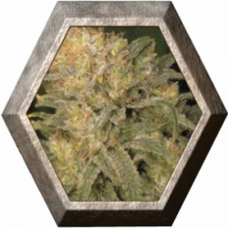 Bubble Gum Regular 11 semillas Serius Seeds