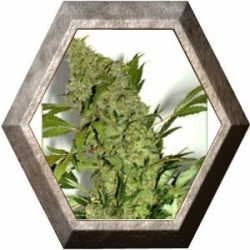 Chronic 6 semillas Serius Seeds