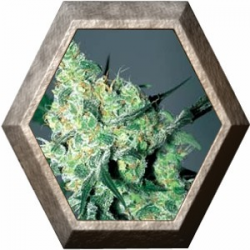 White Russian 6 semillas Serius Seeds