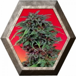 Durban Poison 3 semillas Dutch Passion Seeds DUTCH PASSION SEEDS DUTCH PASSION SEEDS