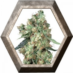 Dutch Haze 3 semillas Dutch Passion Seeds DUTCH PASSION SEEDS DUTCH PASSION SEEDS