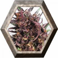 Purple 1 3 semillas Dutch Passion Seeds