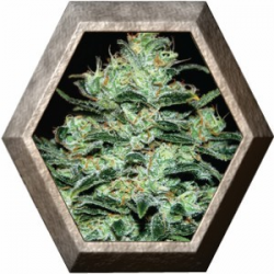 Moby Dick 3 semillas Green House Seeds